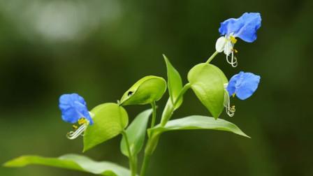 农村水田有蓝色小花,叫鸭跖草,美丽异常还有消肿、清热解毒功效