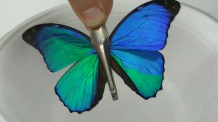 向蓝色的蝴蝶翅膀滴几滴液氮,神奇的事情发生了,这是为什么?
