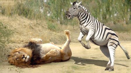 """斑马被狮子锁喉,竟使出一招""""泰山压顶"""",是个高手!"""