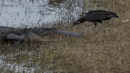 秃鹫喝完水转身要走,突然感觉背后一凉,镜头记录绝望一幕!