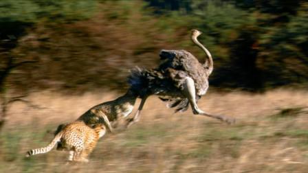 鸵鸟和猎豹谁跑得更快?看猎豹捕食鸵鸟,猎豹:你再跑啊?
