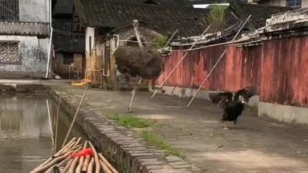鸵鸟飞奔过来找主人,吓到我的鸭子了,跑真快