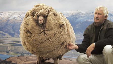 这只羊六年没剪毛,胖成了一只球,剪毛后直接拿到下选美冠军