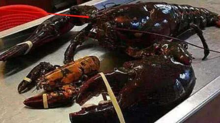 """这只龙虾活了134年,被政府赐予""""免死金牌"""",活成了保护动物"""