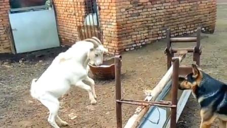 山羊向狗发起挑衅,看狗子怎么收拾它