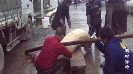 农村女屠夫杀猪你见过吗400斤的大肥猪,肉质真好