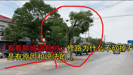 自驾来到山东聊城,看看路中间的这棵树为什么没有人敢砍它