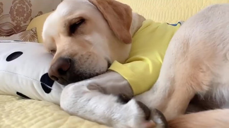 狗狗在装睡,主人怎么喊它,它都不理会,太逗了