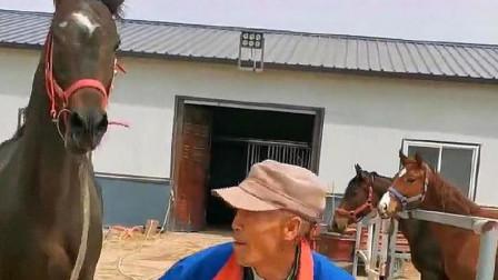 """和老虎一样凶的马""""傻眼""""了吧?没想到这老头比你还凶!"""