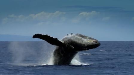 《走进美国》鲸鱼竟包围了纽约曼哈顿?!