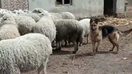 狗:终于找到对口的工作了