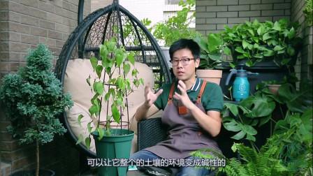给大家讲一个园艺中的知识,铁线莲千万不要得这种病,这种没救了
