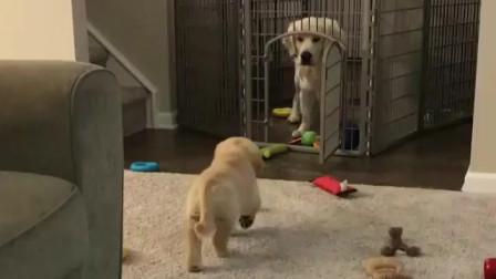 图图的八卦小日记:呆萌小狗狗的搞笑视频,你知道么?