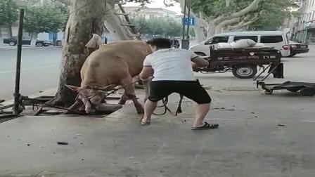 老牛知道自己要被杀,路边做出最后的挣扎,感觉好可怜!