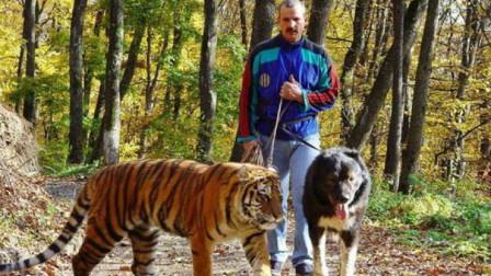 一只高加索犬能打赢一只老虎吗?高加索犬:我有话说