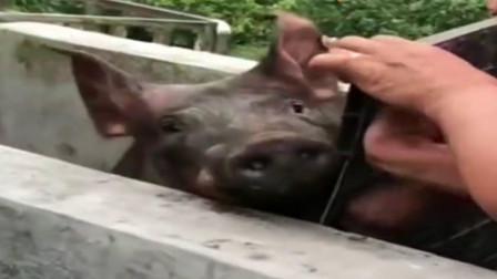 对待猪,就不能心慈手软!