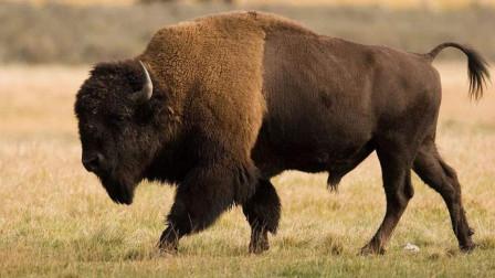 美洲野牛, 揭开鲜为人知的神秘面纱,看完视频与你想象中的牛有不同吗