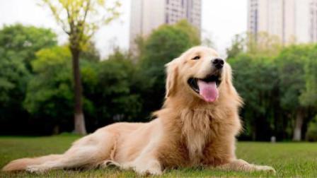 这是我见过最有趣的金毛,被主人随意摆弄毫不反抗,网友:想养一只!