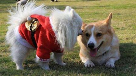 狗狗身上毛发旺盛,给它们穿衣服真的好吗?快来听专家怎么说
