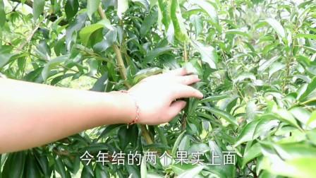 关于李树突长枝