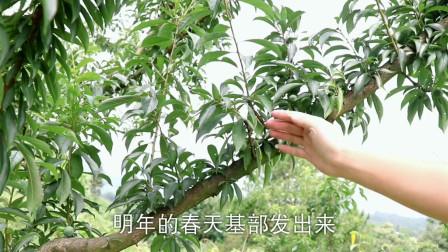 李子树结果枝外移