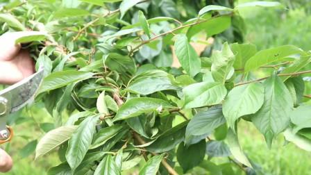 李子树结果枝组的培养及修剪管理
