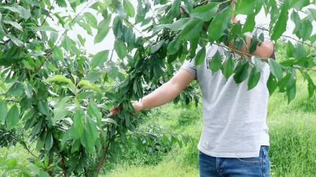 李子树一定要培养好树形