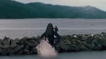 12岁男孩举起手,7000磅重的虎鲸竟跃过堤坝,可它能适应大海吗