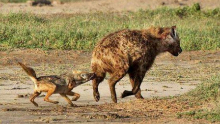 当胡狼学会掏肛后,第一个遭殃的竟然是鬣狗,网友:报应来了!