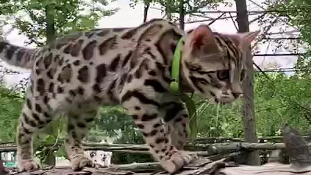 方方姐姐的孟加拉豹猫小喵星人萌萌走独木桥走秀啦