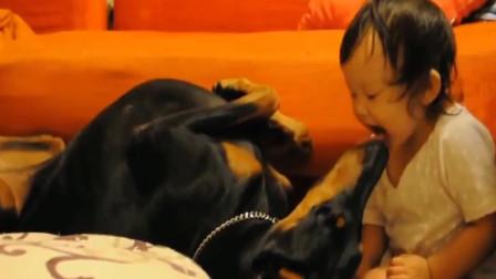 狗狗爱小主人,狂舔宝宝,不用洗脸了