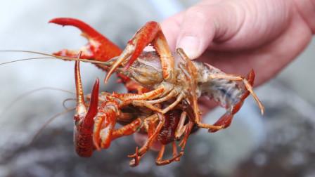 为什么小龙虾的寿命能比人还长,能活到100岁,原来秘密在这