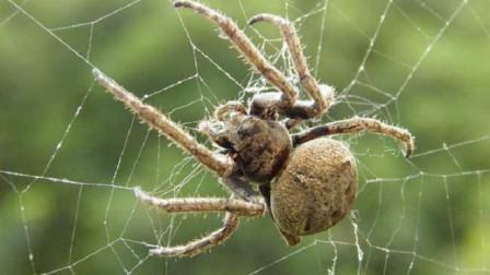 别看蜘蛛小,身上的血压比人还要高,没想象中的那么简单