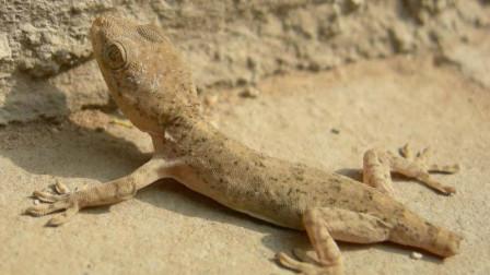 为什么蜥蜴尾巴断落后,还能不断弹跳?这就是有得必有失