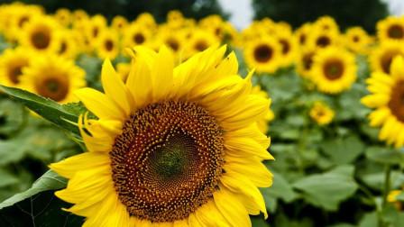 向日葵总跟着太阳转,那到了早上,是怎么一下子转过去的