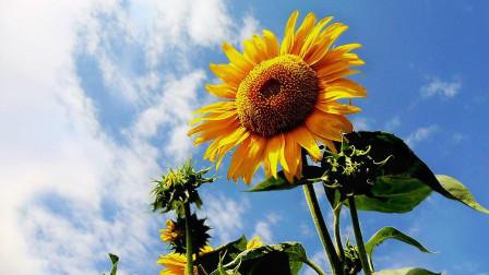 为什么向日葵总是向着太阳生长,有什么规律吗?答案有些不可思议