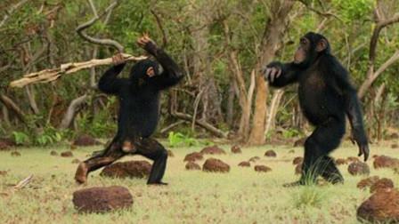 """黑猩猩被群殴,同伴""""两肋插刀""""抄棍子就打,这棍法简直出神入化"""