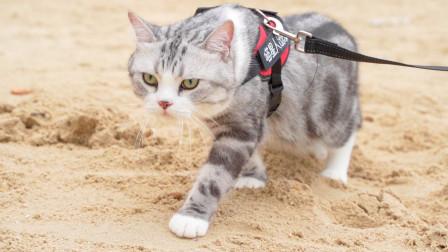 猫咪第一次去海边,就大胆的在沙滩上漫步,表情超霸气