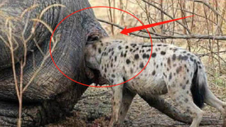 """""""掏肛哥""""鬣狗盯上一头大象,正奋力往里钻时,可怕的一幕发生了"""