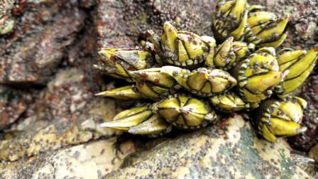 渔村勺子出海抓海鲜,佛手螺、露螺2小时收获5、6小海鲜