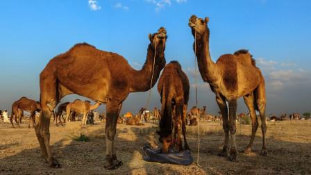 骆驼在沙漠行走中,通常靠喝盐水来解渴,这到底是为什么?