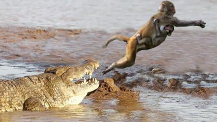 鳄鱼咬住小猴子,猴群群体作战大战鳄鱼,猴子:还了孩儿!