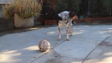 超高难度指令给狗狗它却轻轻松松做到好腻害