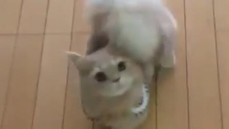 这只猫咪竟然长了松鼠尾巴可爱模样融化人