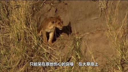 一只失去双腿的狮子,它的结局会是如何?镜头拍下全过程