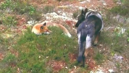 狗狗进山带了一只狐狸回来,这就是狐朋狗友