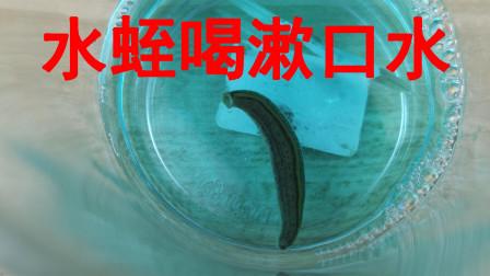 """给""""水蛭""""喝点""""漱口水""""会怎么样?不知道水蛭有没有牙齿?"""