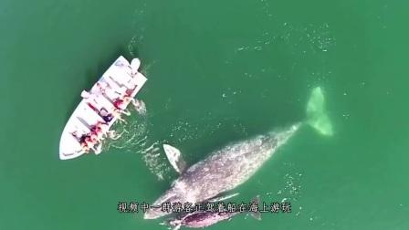 鲸鱼母子向人类求救,看到鲸鱼的身体后,眼前的画面让人泪目