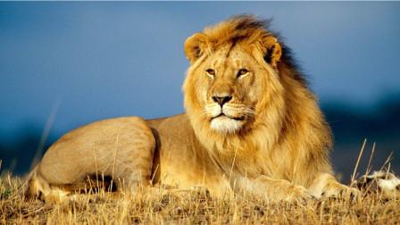 雄狮都是怎么死亡的?雄狮:我虽称霸草原,却也难逃宿命!
