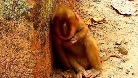 一只小猴子蹲在墙边,可怜巴巴的哭泣,镜头拍下全过程